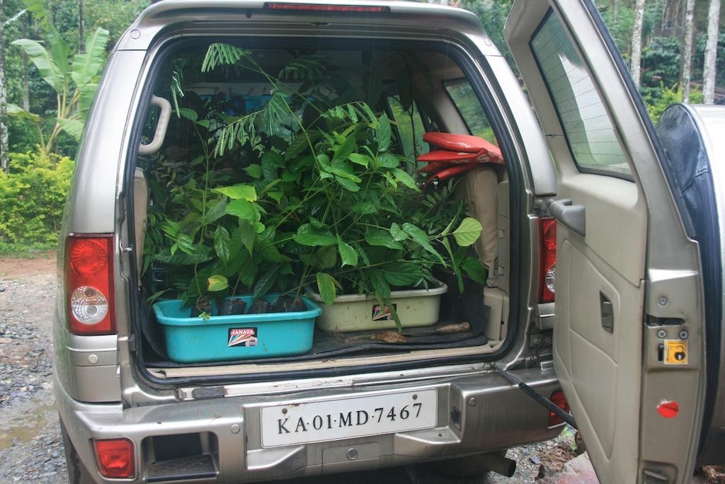 Procuring the saplings.