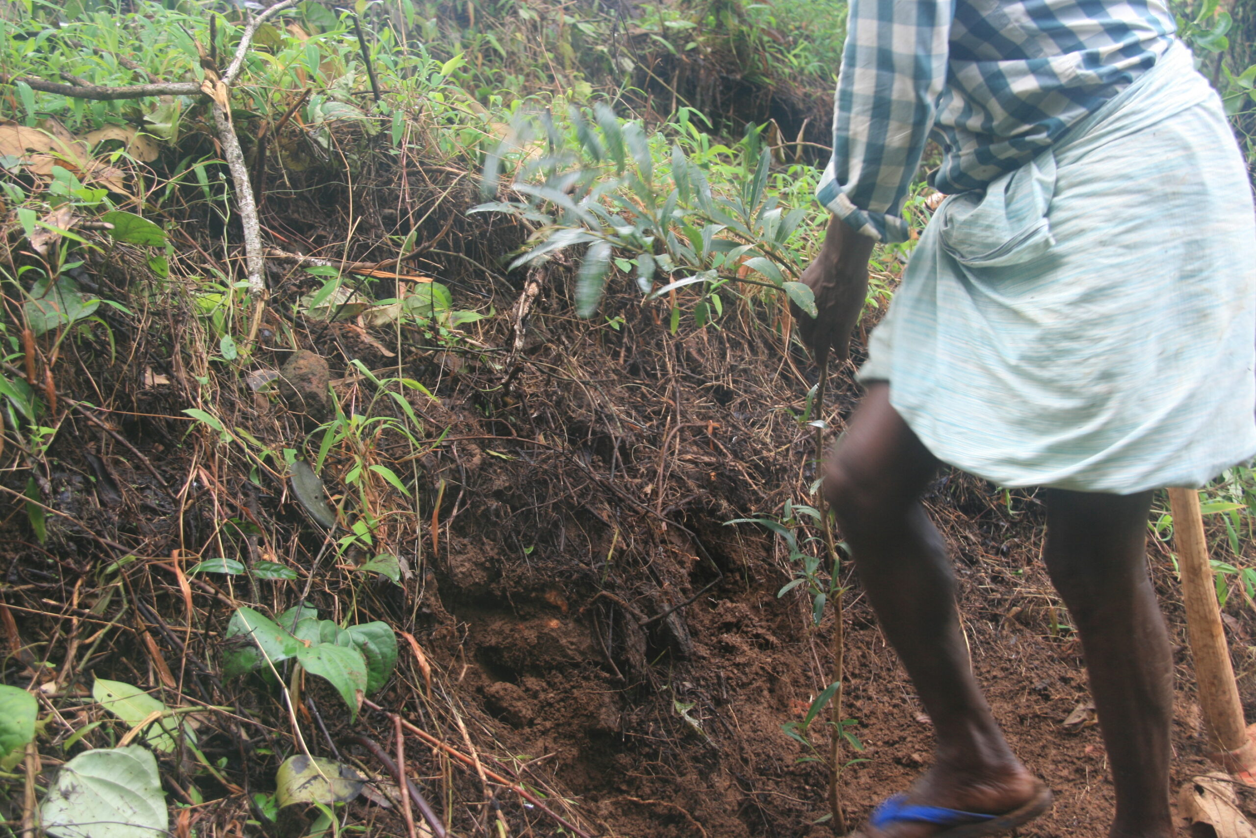 22nd Aug 2015 Planting 2