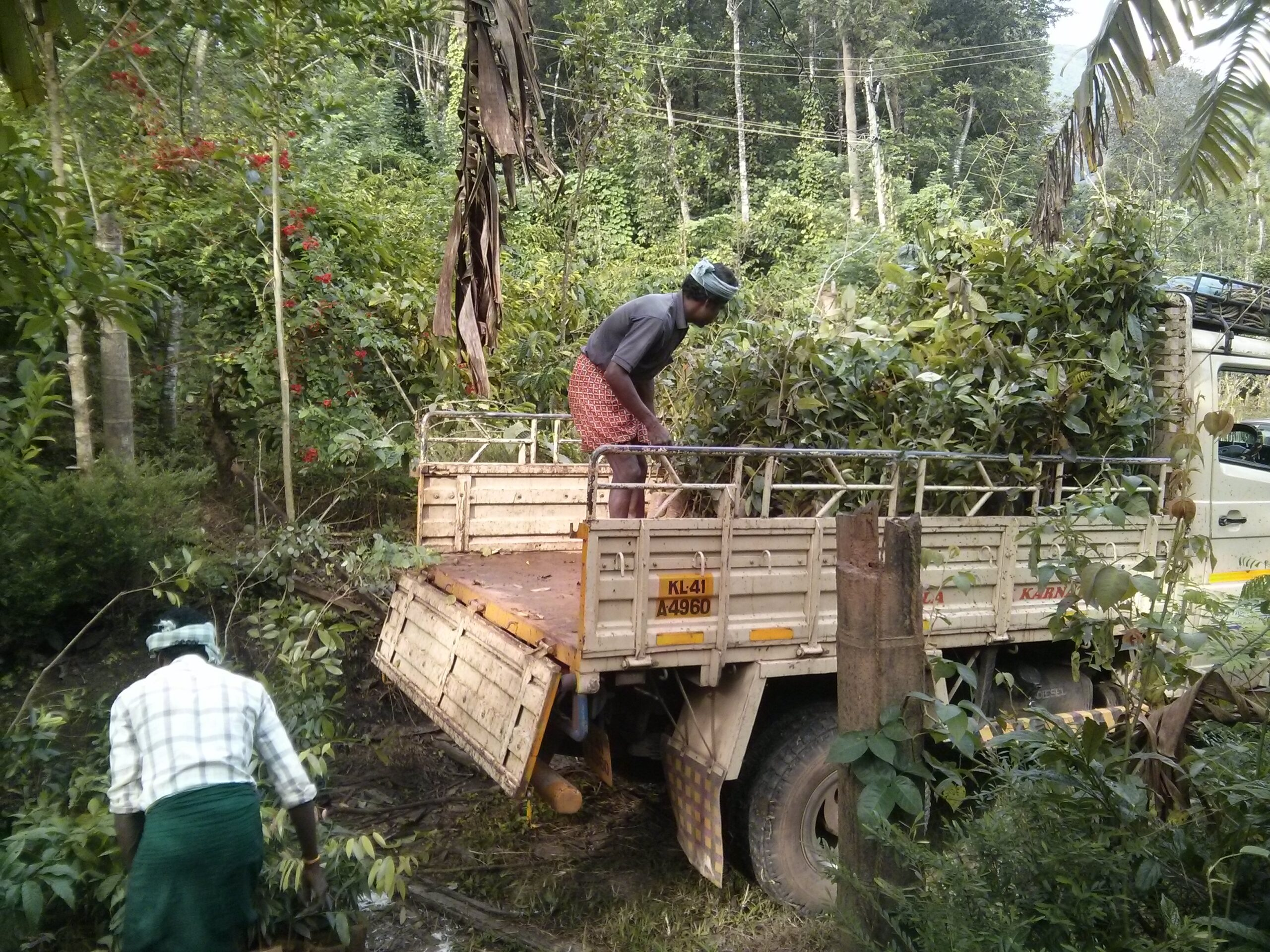 28-Jul-2015 650 trees arriving from  Sirsi