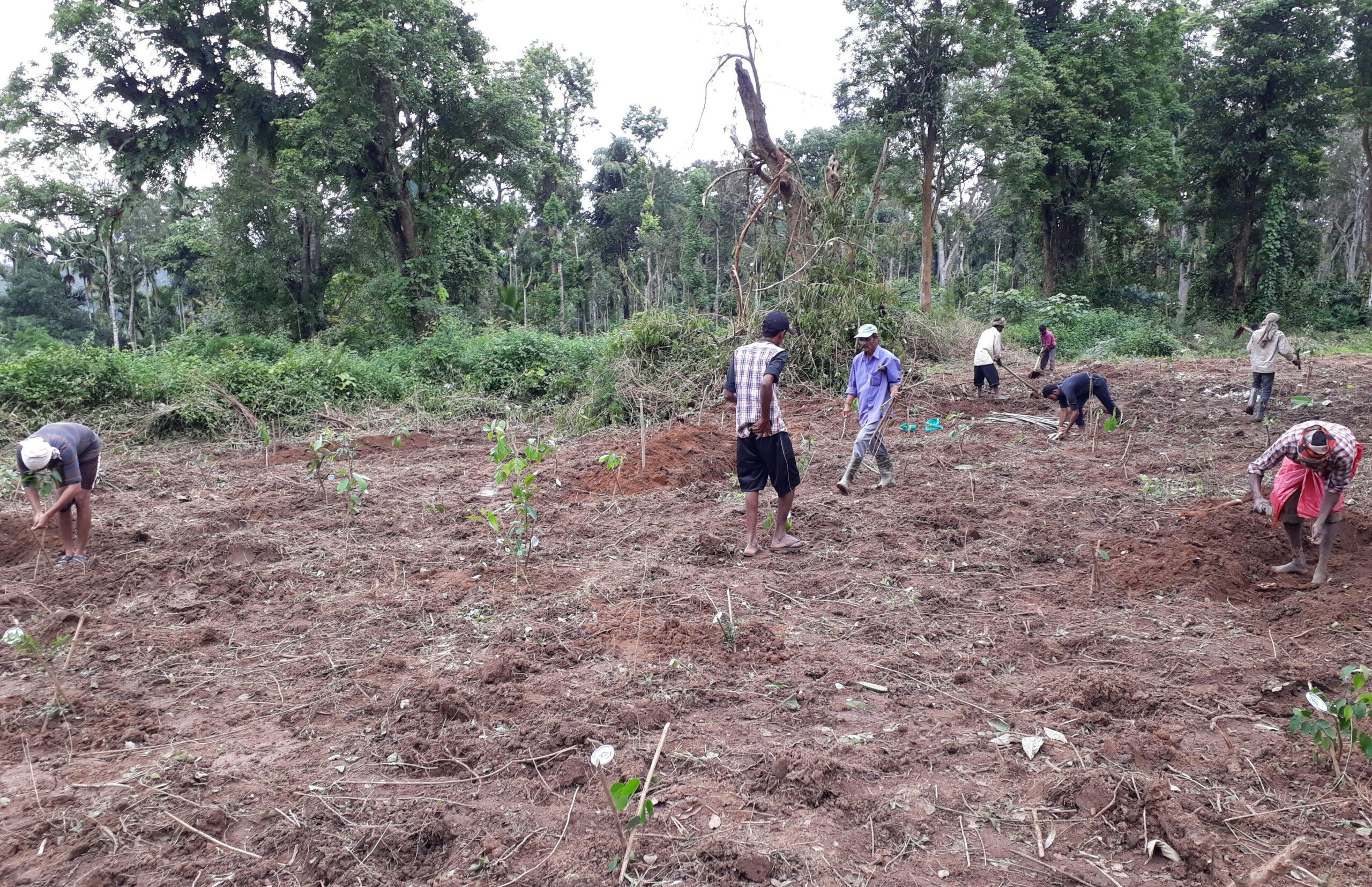 Planting of saplings
